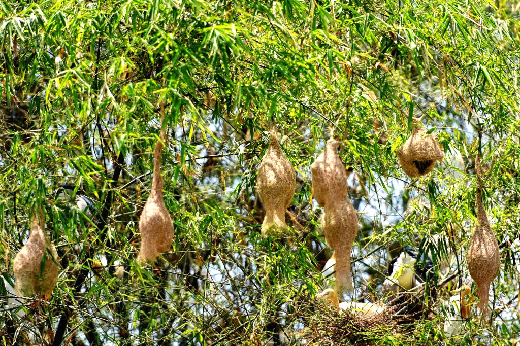 Bird nests are seen from a tree on an island in Bueng Boraphet, a freshwater swamp and lake in Nakhon Sawan, central Thailand, April 30, 2015. Covering an ...
