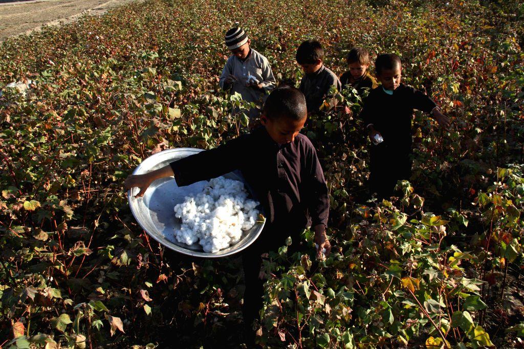 Nangarhar (Afghanistan): Afghan children harvest cotton buds at a field in Nangarhar province, east Afghanistan, Nov. 18, 2014.