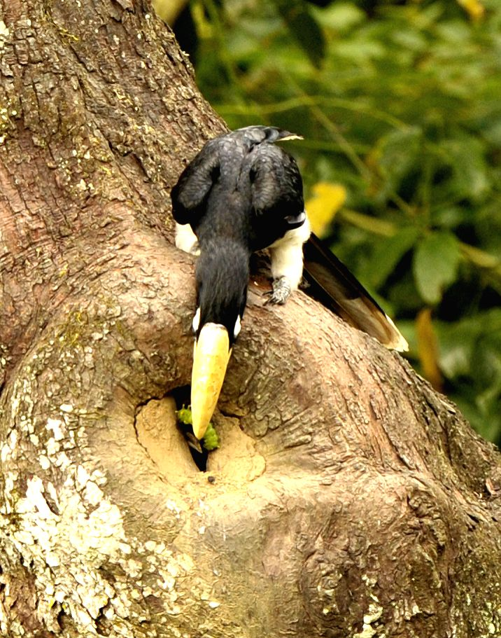 A male oriental pied hornbill catches a worm to feed young birds at a natural preservation zone in south China's Guangxi Zhuang Autonomous Region, Aug. 7, 2014. ...