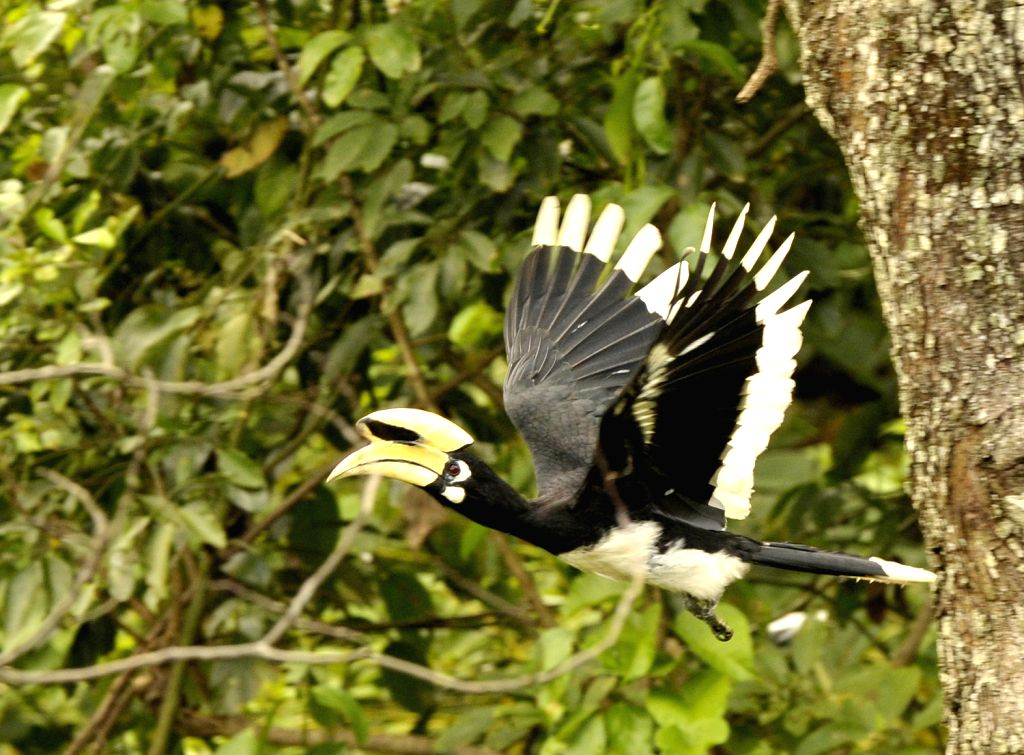 An oriental pied hornbill flies at a natural preservation zone in south China's Guangxi Zhuang Autonomous Region.