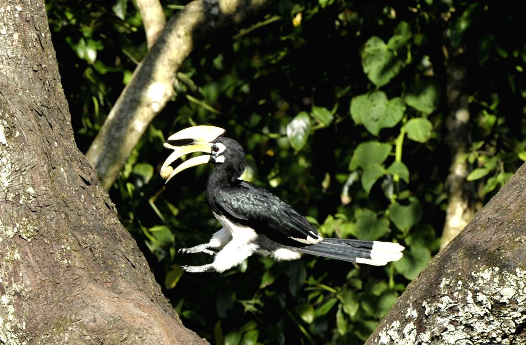 Photo taken on Aug. 7, 2014 shows an oriental pied hornbill at a natural preservation zone in south China's Guangxi Zhuang Autonomous Region. (Xinhua/Jiang ...
