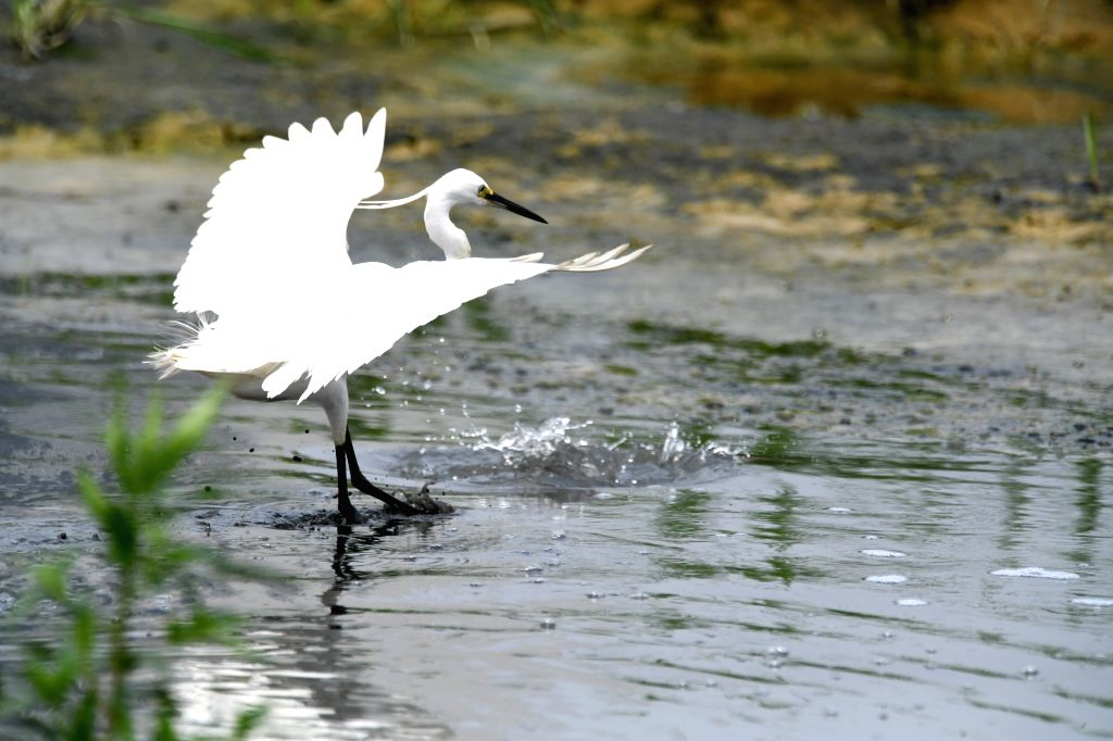 NANNING, May 11, 2019 - Photo taken on May 11, 2019 shows an egret in Xinweijiang River wetland in Nanning, capital of south China's Guangxi Zhuang Autonomous Region.