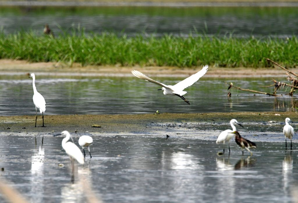 NANNING, May 11, 2019 - Photo taken on May 11, 2019 shows egrets in Xinweijiang River wetland in Nanning, capital of south China's Guangxi Zhuang Autonomous Region.