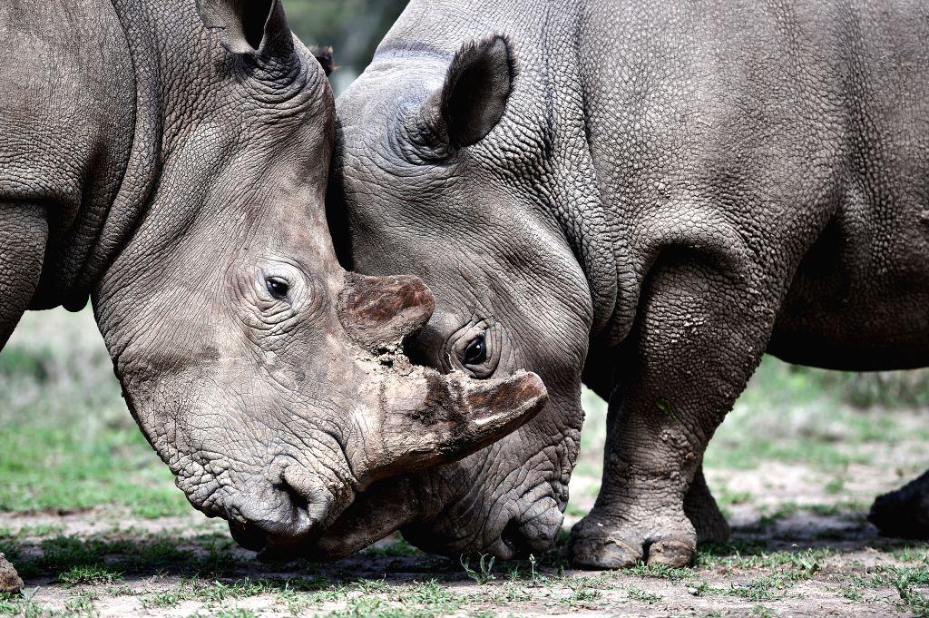 A female northern white rhino called Najin is seen with a southern white rhino inside an open enclosure at Ol Pejeta Conservancy in Nanyuki, Kenya, April 17, 2015. ...