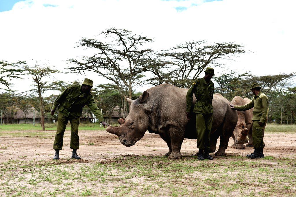 Three guards stand by a female northern white rhino called Najin inside an open enclosure at Ol Pejeta Conservancy in Nanyuki, Kenya, April 17, 2015. (Xinhua/Sun ...