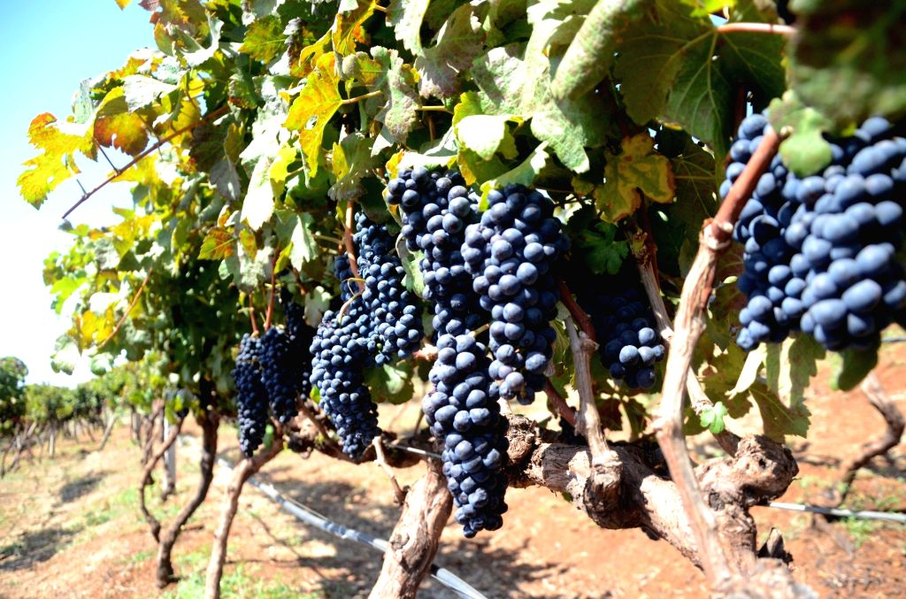 Nasik: Bunches of grapes hanging from a grapevine at Grover Zampa vineyard in Sanjegaon Village of Nasik on Feb 10, 2018. (Photo: Sandeep Mahankal/IANS)