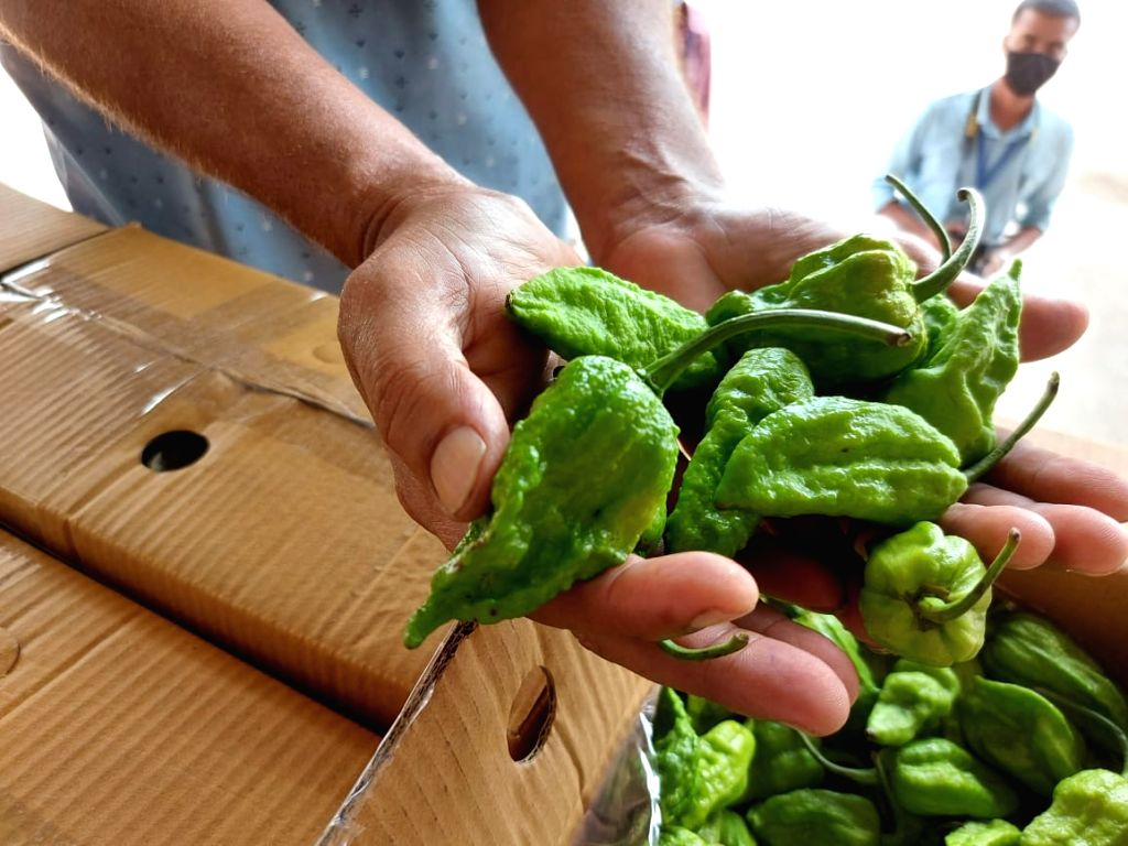 NE Indias Bhut Jolokia hottest chilli in the world, exports to London