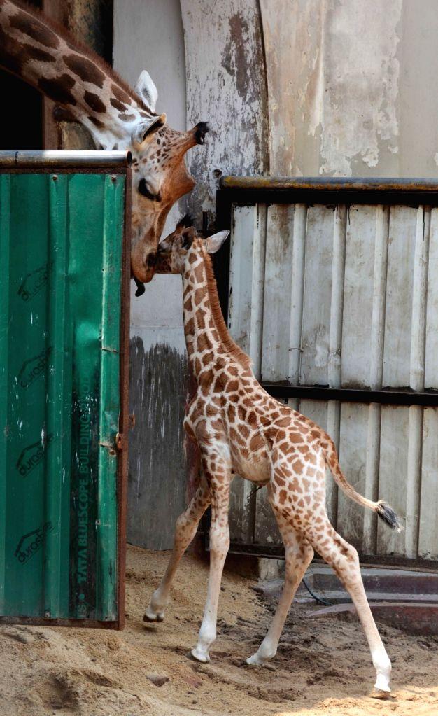 New-born giraffe at Alipore Zoo in Kolkata, on June 1, 2016.