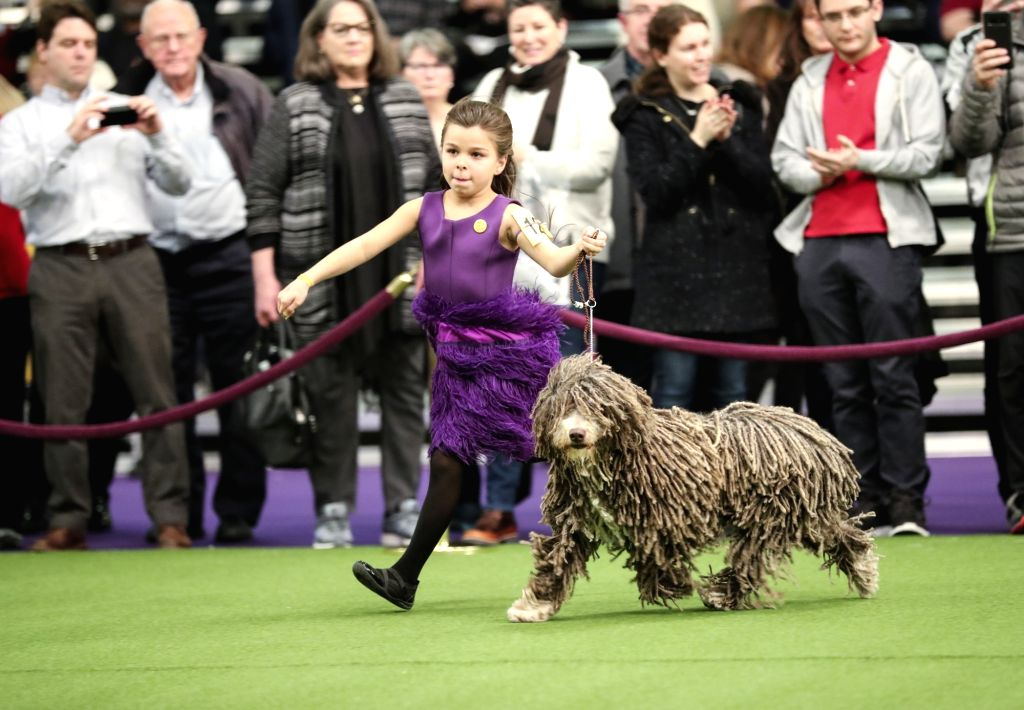 NEW YORK, Feb. 13, 2018 - A dog is seen during the Confirmation competition at the 2018 Westminster Kennel Club Dog Show in New York, the United States, Feb. 12, 2018. Around 2800 dogs of over 200 ...