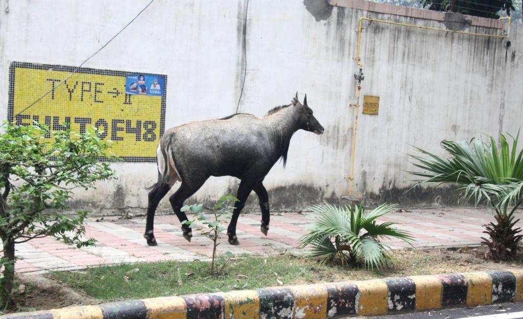 Nilgai spotted near Mandi House in New Delhi on Nov 25, 2020.