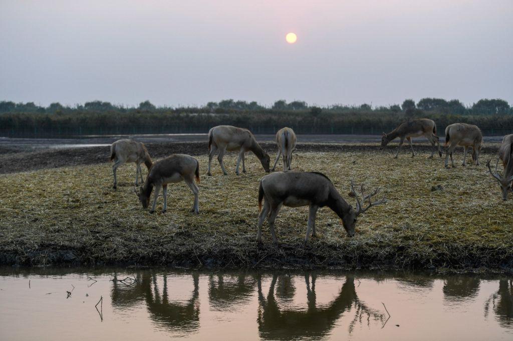 NINGBO, Oct. 25, 2018 - Elks forage at Hangzhou Bay national wetland park in Ningbo, east China's Zhejiang Province, Oct. 24, 2018.