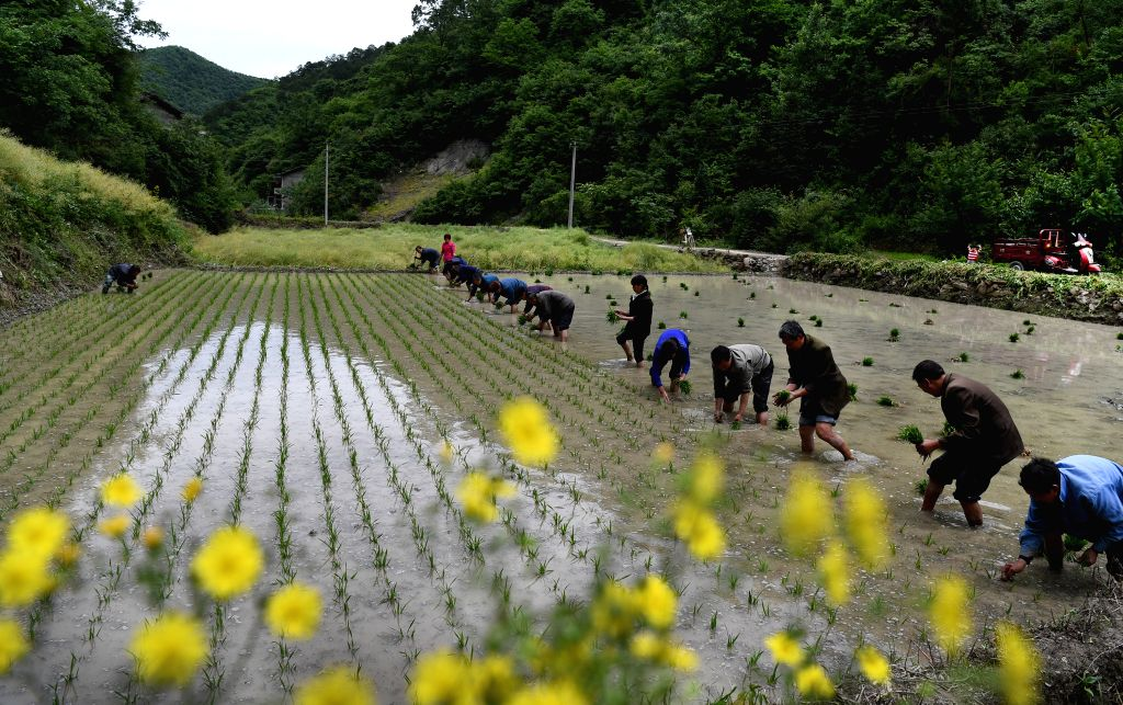 NINGQIANG, May 25, 2017 - Villagers plant paddy rice in Hanshuiyuan Village of Ningqiang County, northwest China's Shaanxi Province, May 23, 2017. Hanshuiyuan Village developed ecological food ...