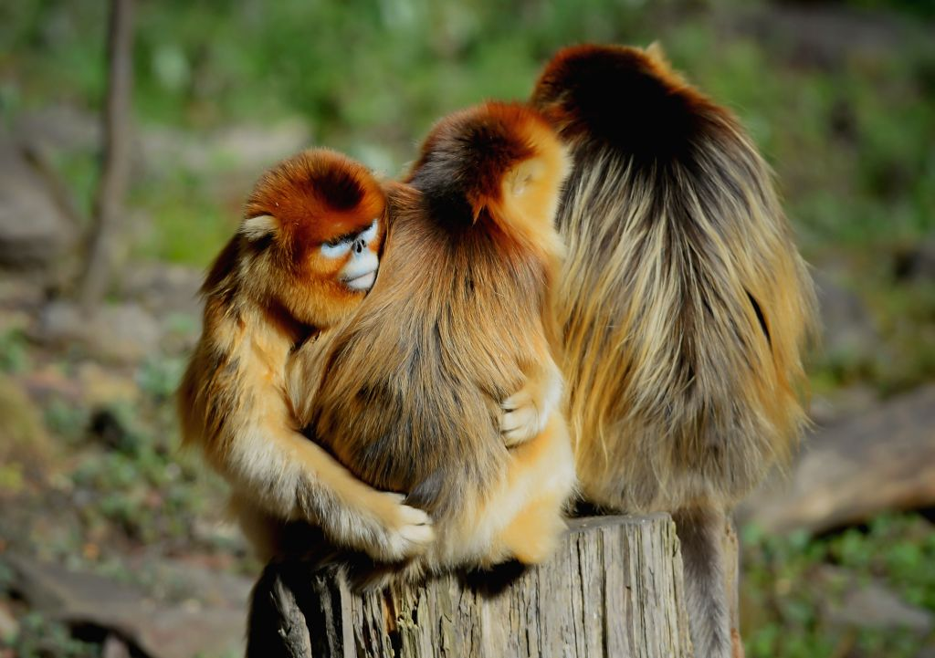 Wild golden monkeys are seen at the Qinling Mountains in Ningshan County, northwest China's Shaanxi Province, Dec. 4, 2014. The number of wild golden monkeys at the Qinling Mountains has ...
