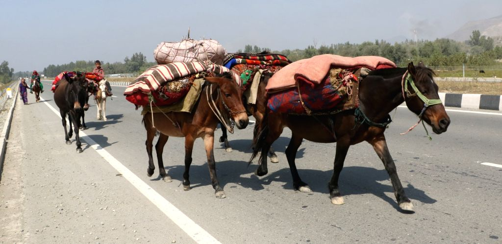 Nomads move towards plains of Jammu from the hills before winters arrive in Jammu and Kashmir on Sept 18, 2018.