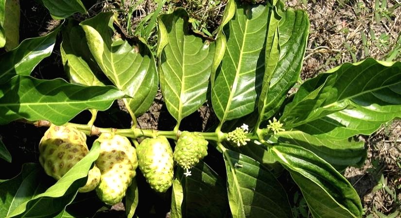 Noni juice: The health-giving drink for greater immunity.