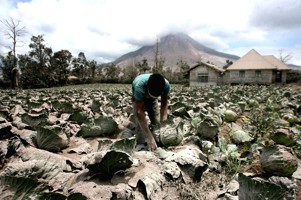 NORTH SUMATERA, Aug. 3, 2017 - A farmer cleans cabbage in the field near Mount Sinabung in Karo, North Sumatra, Indonesia, on Aug. 3, 2017. Mount Sinabung volcano in North Sumatra province of western ...