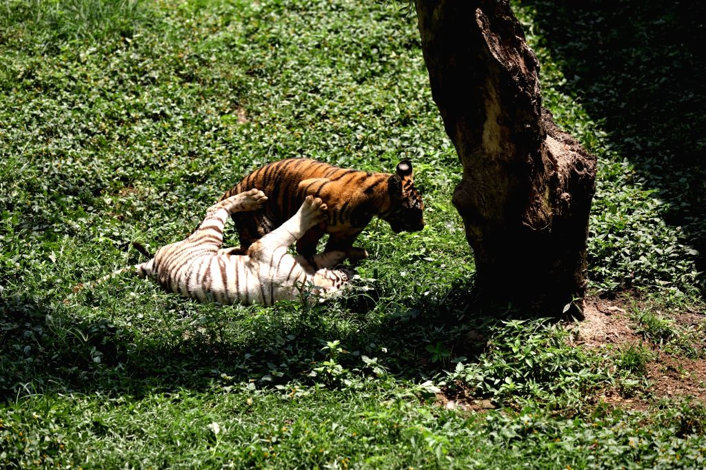 NORTH SUMATRA, March 6, 2019 - Eight-month-old Bengal tiger cubs play at Medan zoo park in Medan of North Sumatra, Indonesia, March 6, 2019.