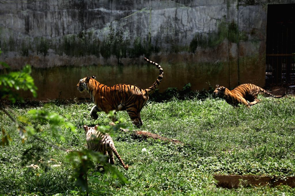 NORTH SUMATRA, March 6, 2019 - Eight-month-old Bengal tiger cubs play with their mother at Medan zoo park in Medan of North Sumatra, Indonesia, March 6, 2019.