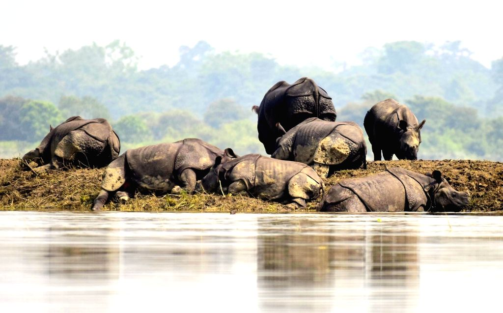 One-horned rhinoceros take shelter on a higher-land in the flood affected area of Kaziranga National Park on July 18, 2019.