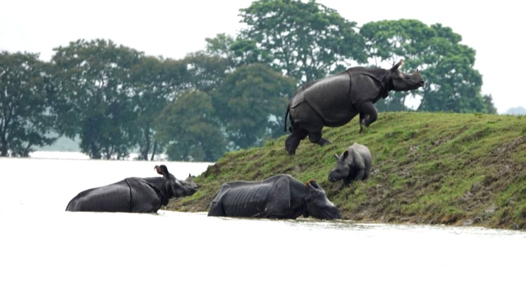 One-horned Rhinos seen moving towards highland in the flood affected Kaziranga National Park in Assam's Kanchanjuri.