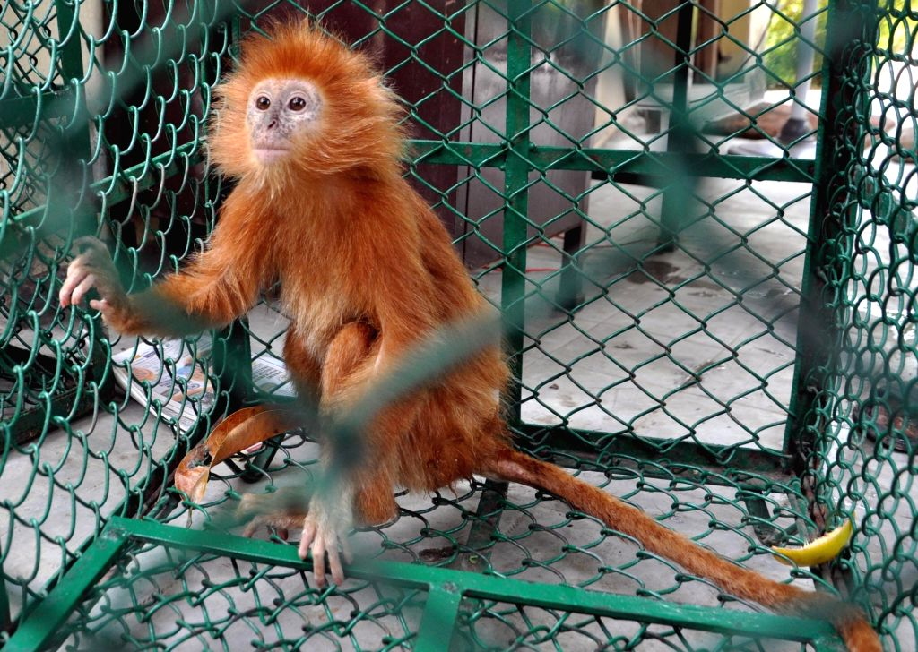 One of the three rare species of 'Lemur' monkeys that was seized by the Forest officials along with a Lion cub, from three persons who had allegedly smuggled the animals from Bangladesh, ...