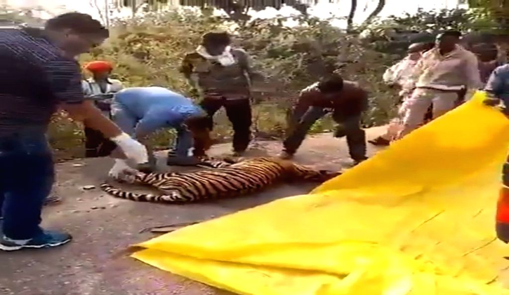One-year-old tigress killed in Panna reserve.