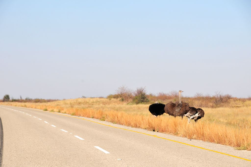 Ostriches stand along the highway nearby Gweta, northern Botswana, on Aug. 10, 2015. Most of Botswana national parks, reserves and wildlife management areas are ...