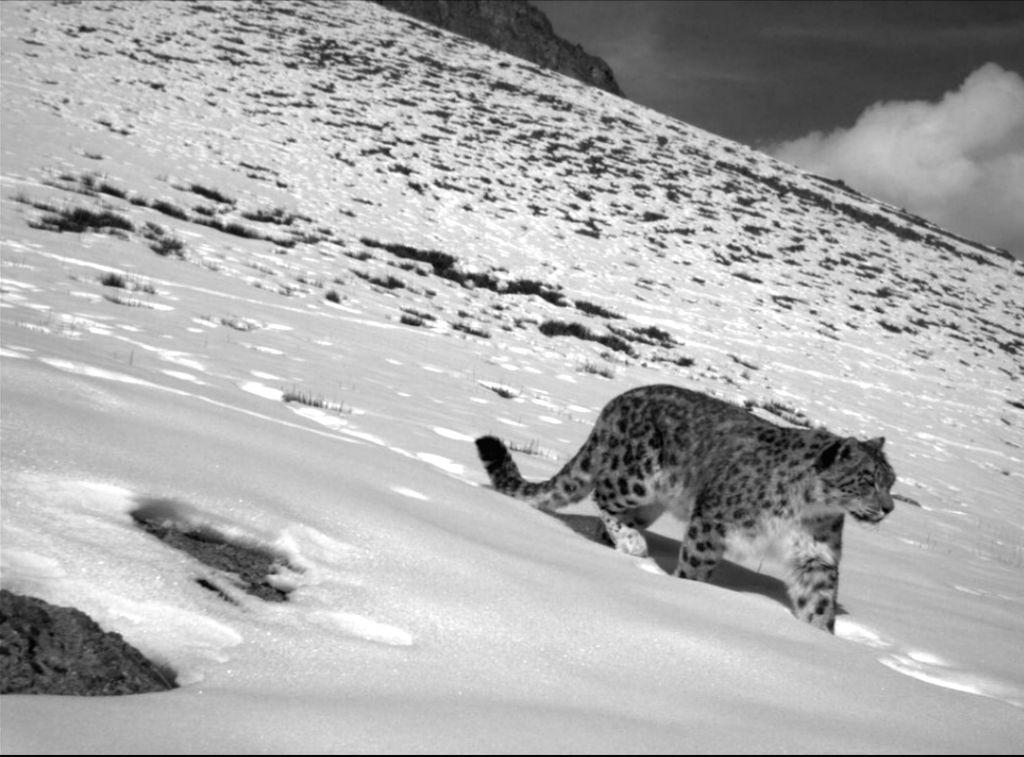 Over 70% snow leopard habitat remains unexplored: WWF.