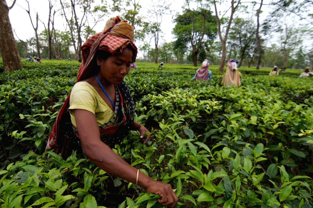 Over 850 big tea gardens and thousands of small gardens in the northeastern region of India specially in Assam are closed leading to huge economic loss and jeopardizing the livelihood of lakhs of workers. (File Photo: IANS)