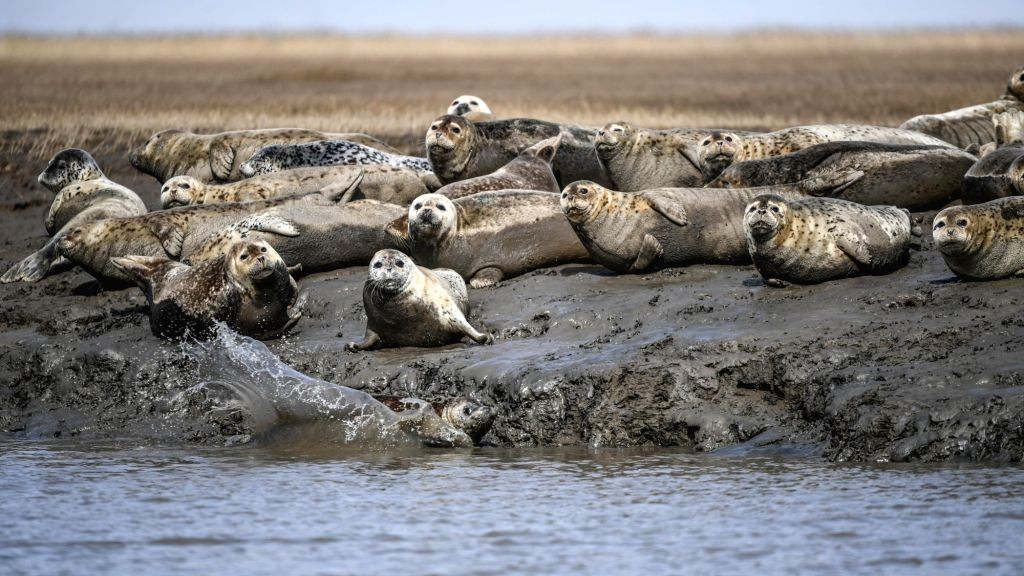 PANJIN, March 28, 2019 - Spotted seals are seen on the coastal mudflat of Sandaogou in Panjin, northeast China's Liaoning Province, March 28, 2019. Over 120 spotted seals rest here and will head back ...