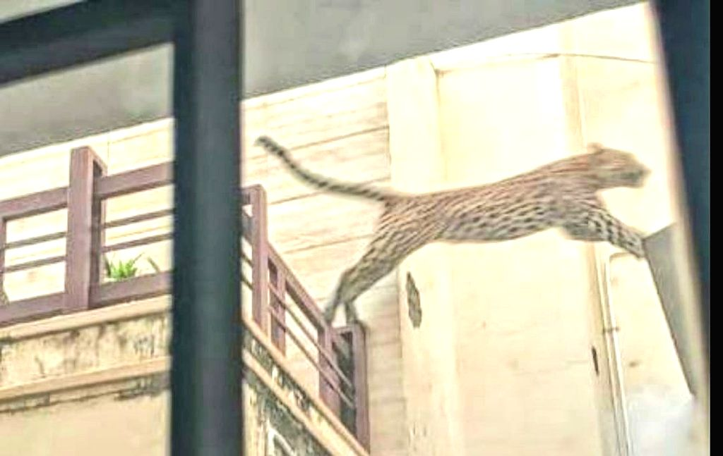 Panther enters Jaipur locality, drone search on.