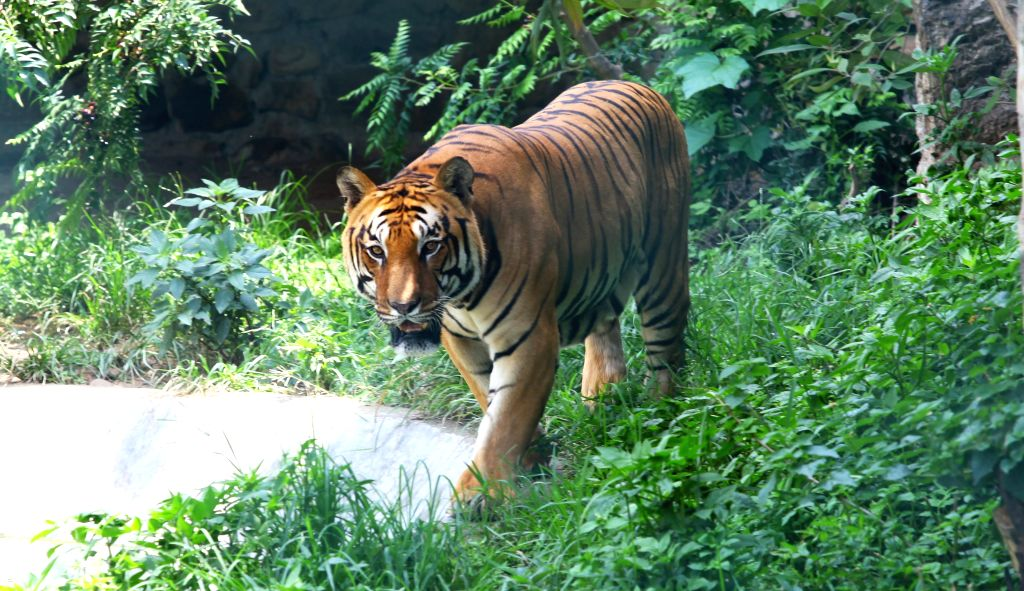 Panther enters Jaipur locality, drone search on. (Xinhua/Sunil Sharma/IANS) - Sunil Sharma