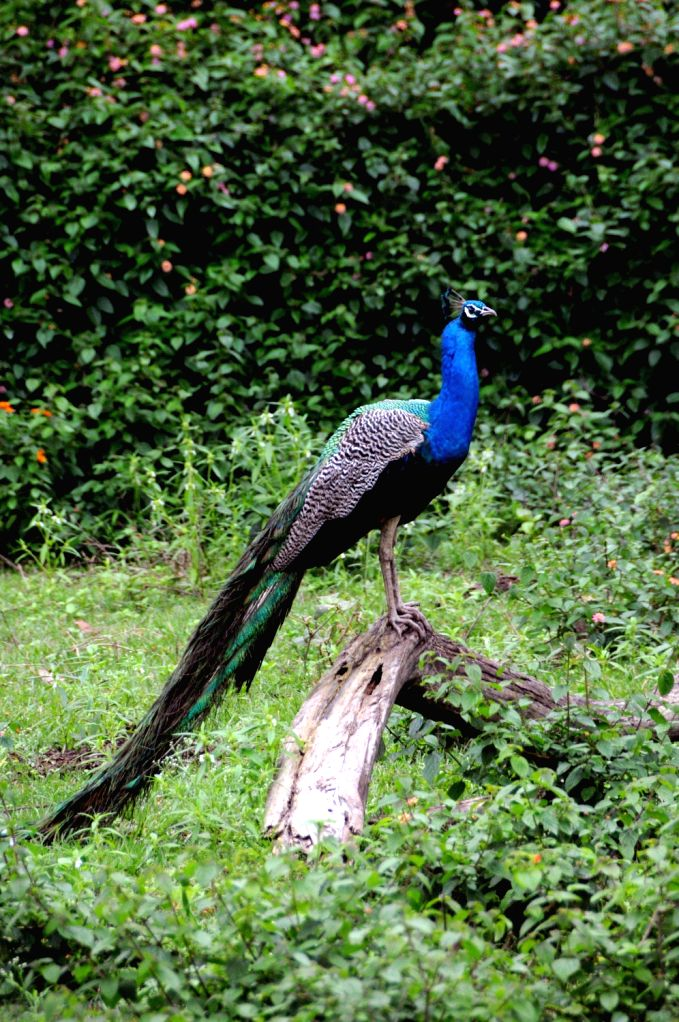 Peacock plays at Bandeepura National Park in Bandeepura on August 18, 2013. (Photo::: IANS)