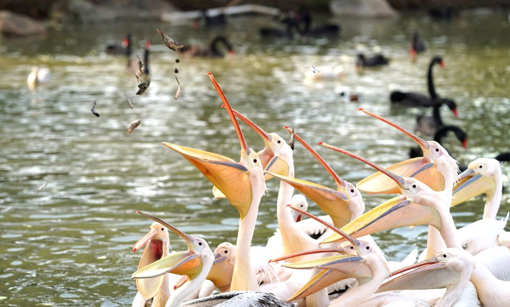 Pelicans are fed at Wuhan Zoo in Wuhan, central China's Hubei Province, March 13, 2020. Wuhan Zoo was closed on Jan. 22 after the novel coronavirus outbreak. Dozens ...