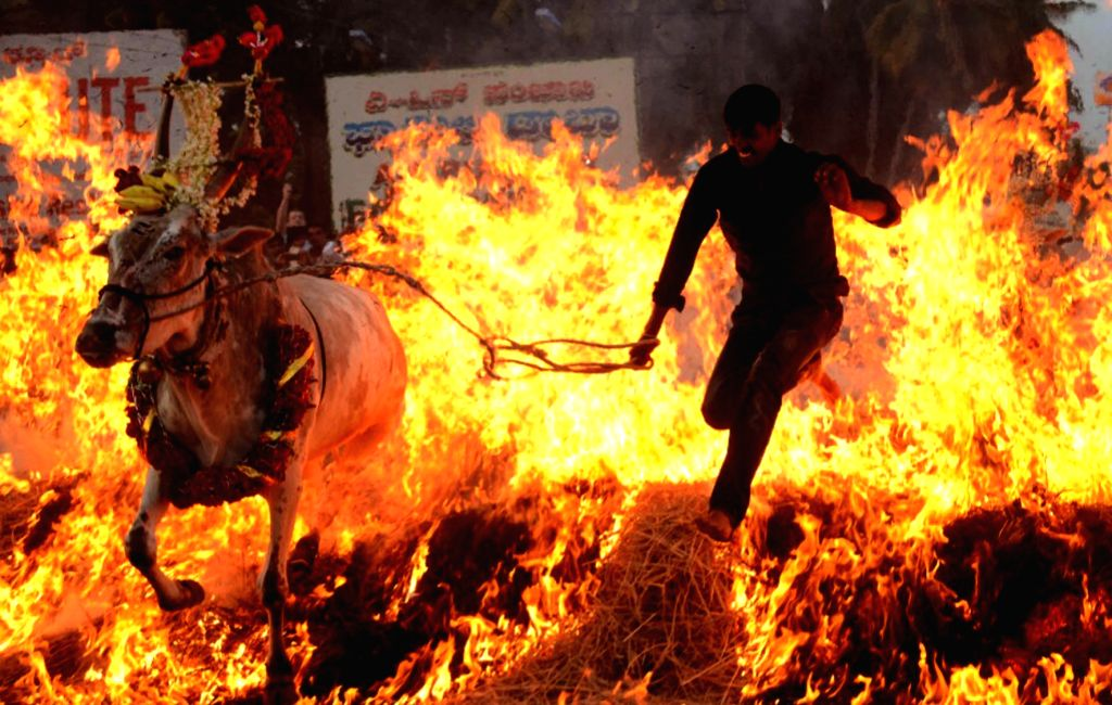 People along with their cattle seen jumping over fire  on Makar Sankranti in Mysuru on Jan 14, 2017.