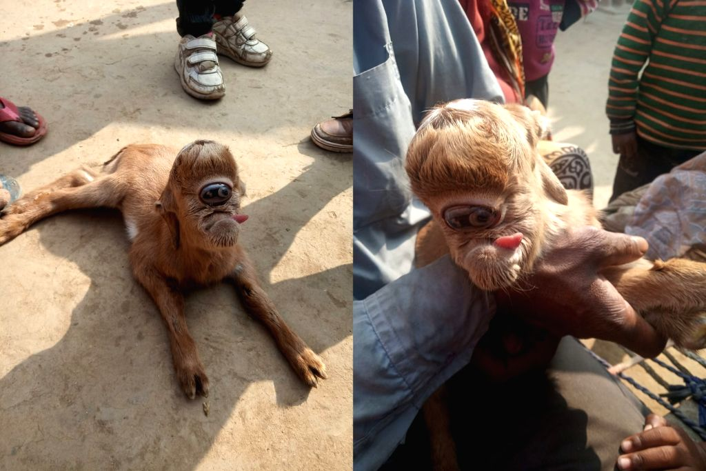 People flock to UP village to see freak goat kid