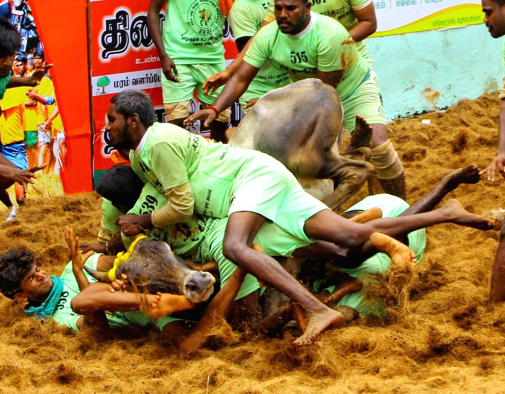 People for the Ethical Treatment of Animals (PETA) India has announced a cash reward of Rs 50,000 to anyone providing information about the person who tortured a prized 'jallikattu' bull to its death at Krishnagiri district in Tamil Nadu. (Photo: IAN