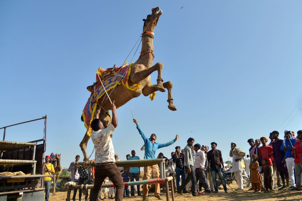 People gather to watch camel dance during Pushkar Camel Fair, in Rajasthan's Pushkar on Nov 5, 2019.