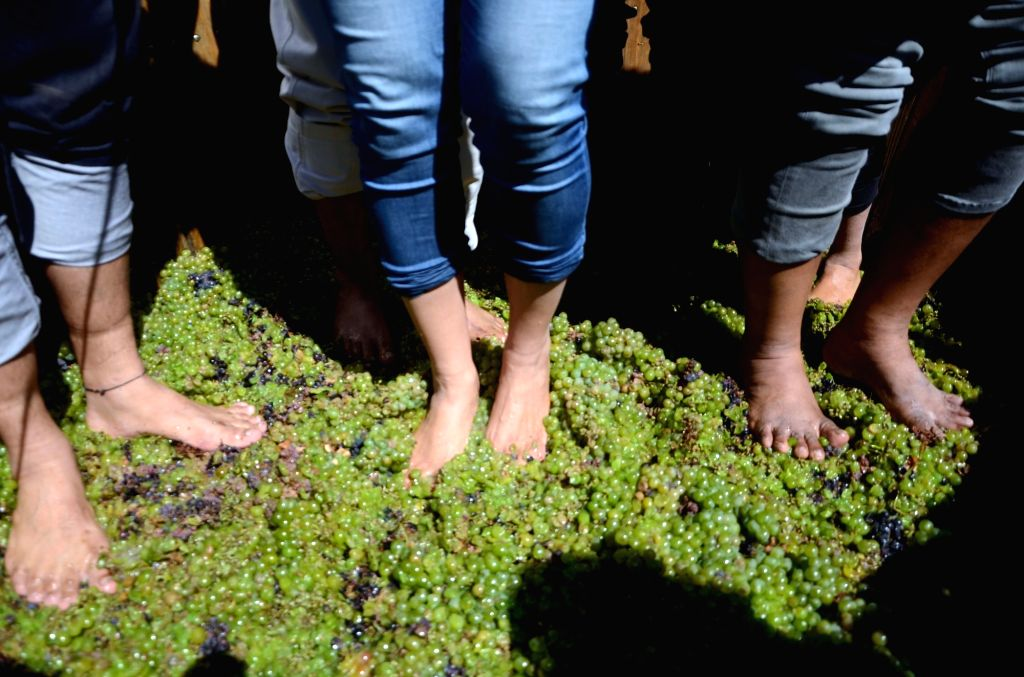 People participate in Grape-stomping - a method of traditional winemaking where grapes are crushed by having barefoot participants who repeatedly stomp on them to release their juices and ...