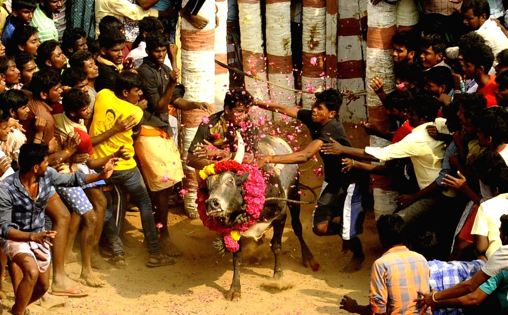 People participate in Jallikattu despite Supreme Court ban in  Alanganallure of Madurai on Jan 16, 2017.  Jallikattu is popular and ancient bull-taming sport, played usually around ...