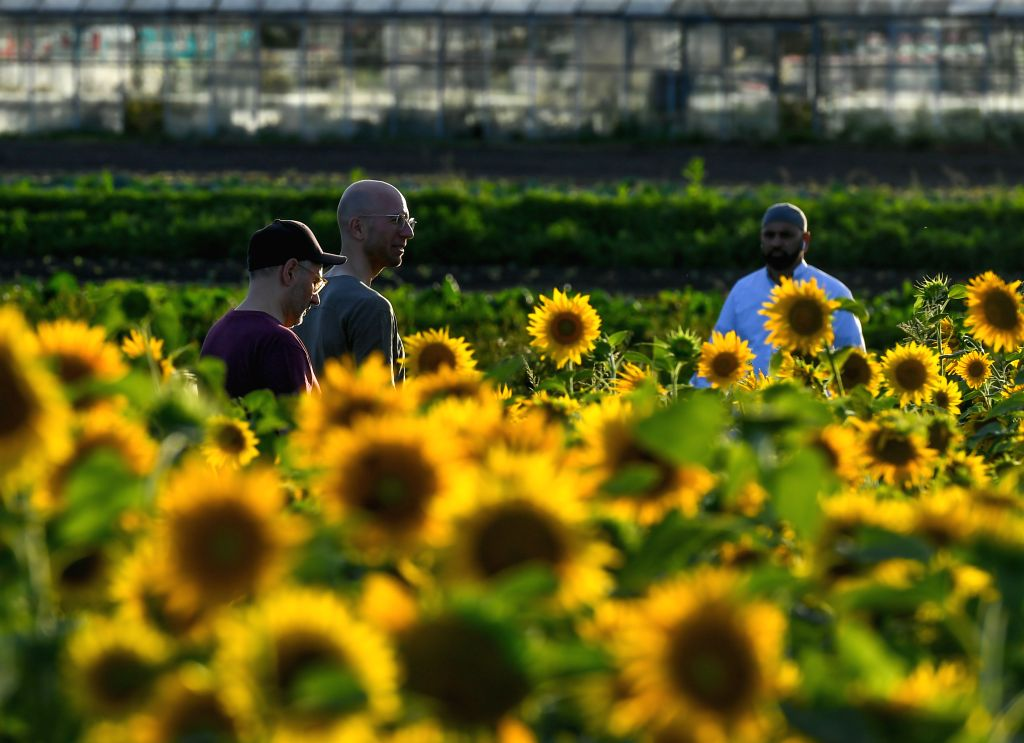 People walk by a sunflower field at a rural area in Frankfurt, Germany, on Aug. 23, 2020.
