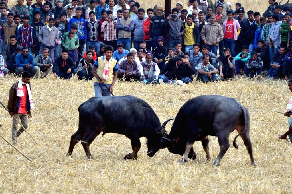 People watch two buffalos fight during a buffalo fight at Ahatguri in Morigaon, Assam, on Jan 16, 2016.