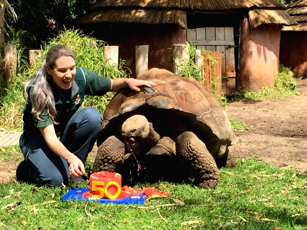 "PERTH Sept. 19 2016 Xinhua-- Galapagos tortoise ""Cerro"" eats a specially created birthday cake in Perth,Australia,Sept. 19, 2016. Cerro, the Galapagos tortoise, one of Australia's ..."