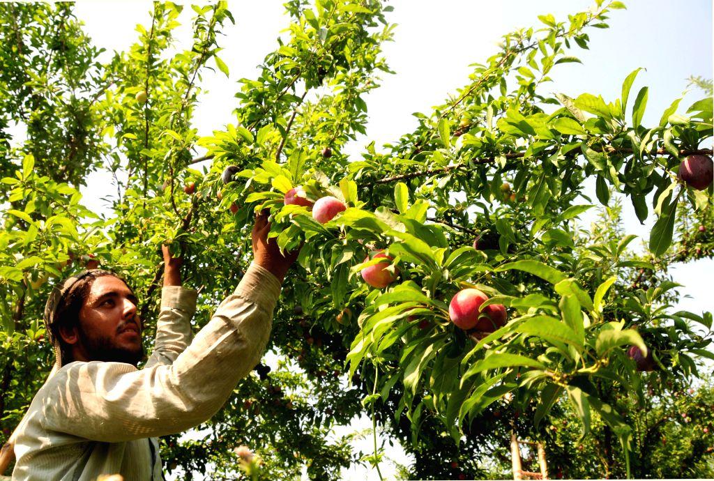 Peshawar (PAKISTAN), June 25, 2020 A man harvests plums on the outskirts of Peshawar, northwest Pakistan, on June 25, 2020. Plum harvest season started recently in Pakistan.