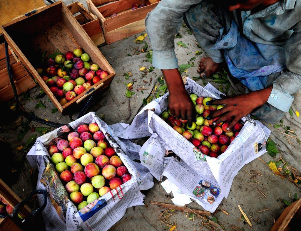 Peshawar (PAKISTAN), June 25, 2020 A man packs plums on the outskirts of Peshawar, northwest Pakistan, on June 25, 2020. Plum harvest season started recently in Pakistan.