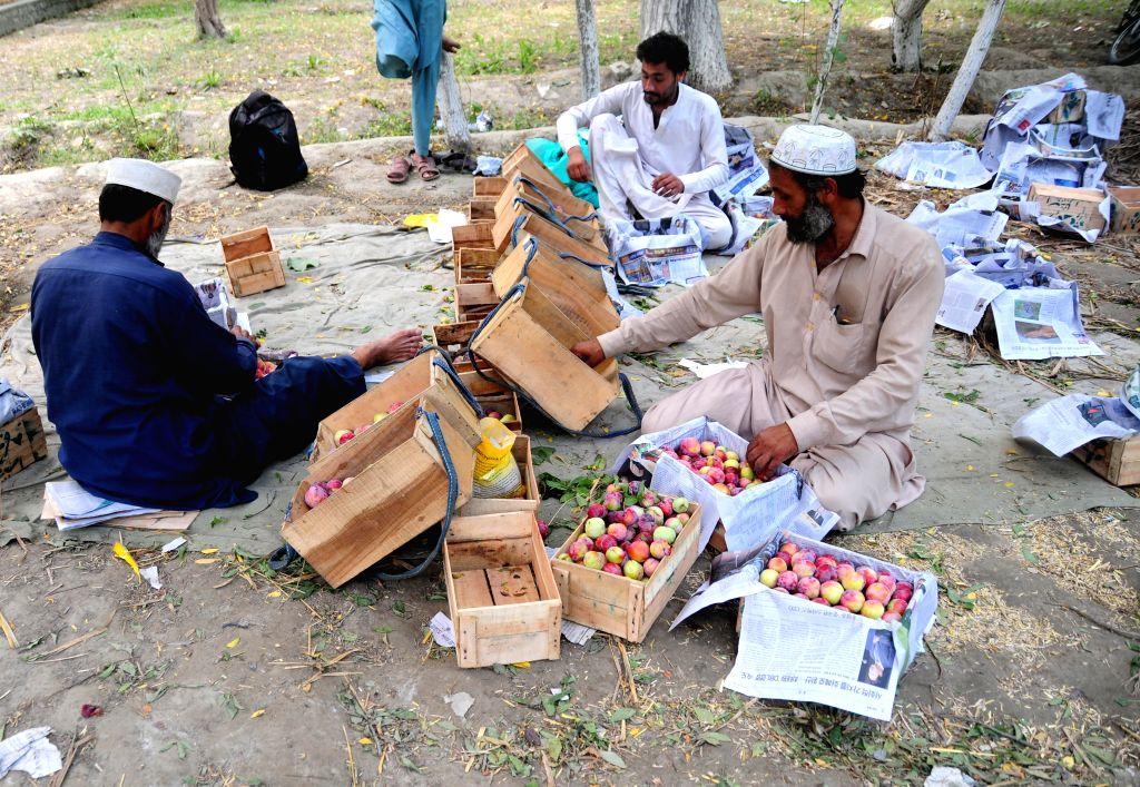 Peshawar (PAKISTAN), June 25, 2020 People pack plums on the outskirts of Peshawar, northwest Pakistan, on June 25, 2020. Plum harvest season started recently in Pakistan.