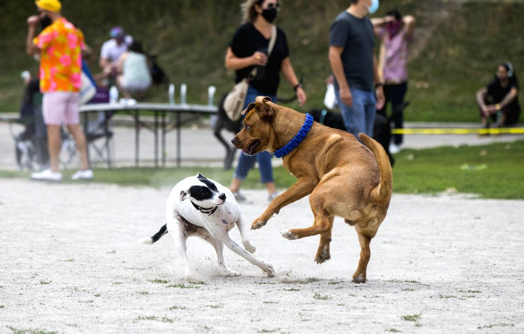 Pet dogs play together during the 2020 Party 4 Paws event in a park in Toronto, Canada, on Aug. 30, 2020. As a family-friendly event, the pet fair drew hundreds of ...