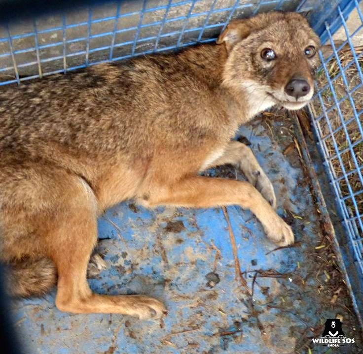 PETA rescues jackal with local help in UP