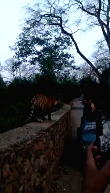 Petrified and excited tourists yelled as a tiger walks along their Gypsy in Rajasthan.