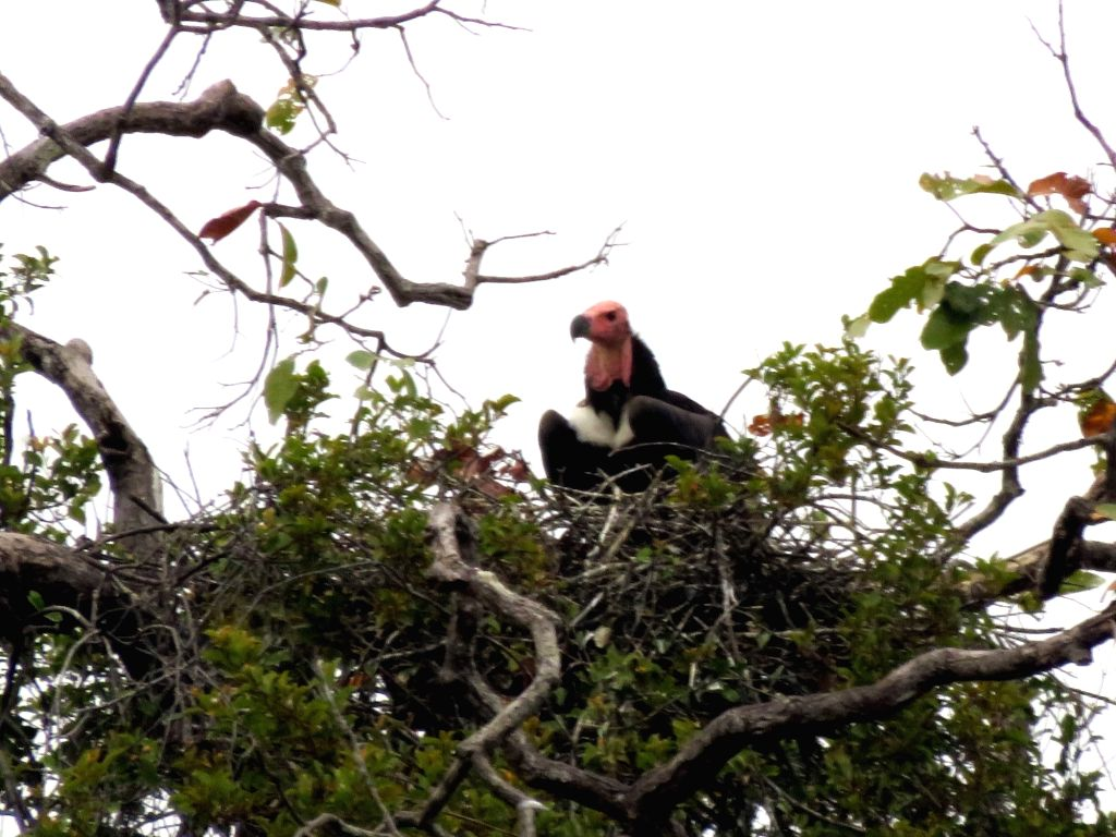 PHNOM PENH, Jan. 29, 2018 - The undated picture released by Wildlife Conservation Society (WCS) on Jan. 29, 2018 shows a red-headed vulture sitting on its nest in Chhep Wildlife Sanctuary in Preah ...